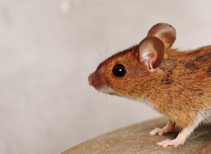 ratten bestrijden in huis